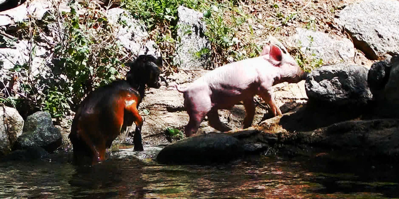 Cómo crear un video viral: Pig rescues baby goat