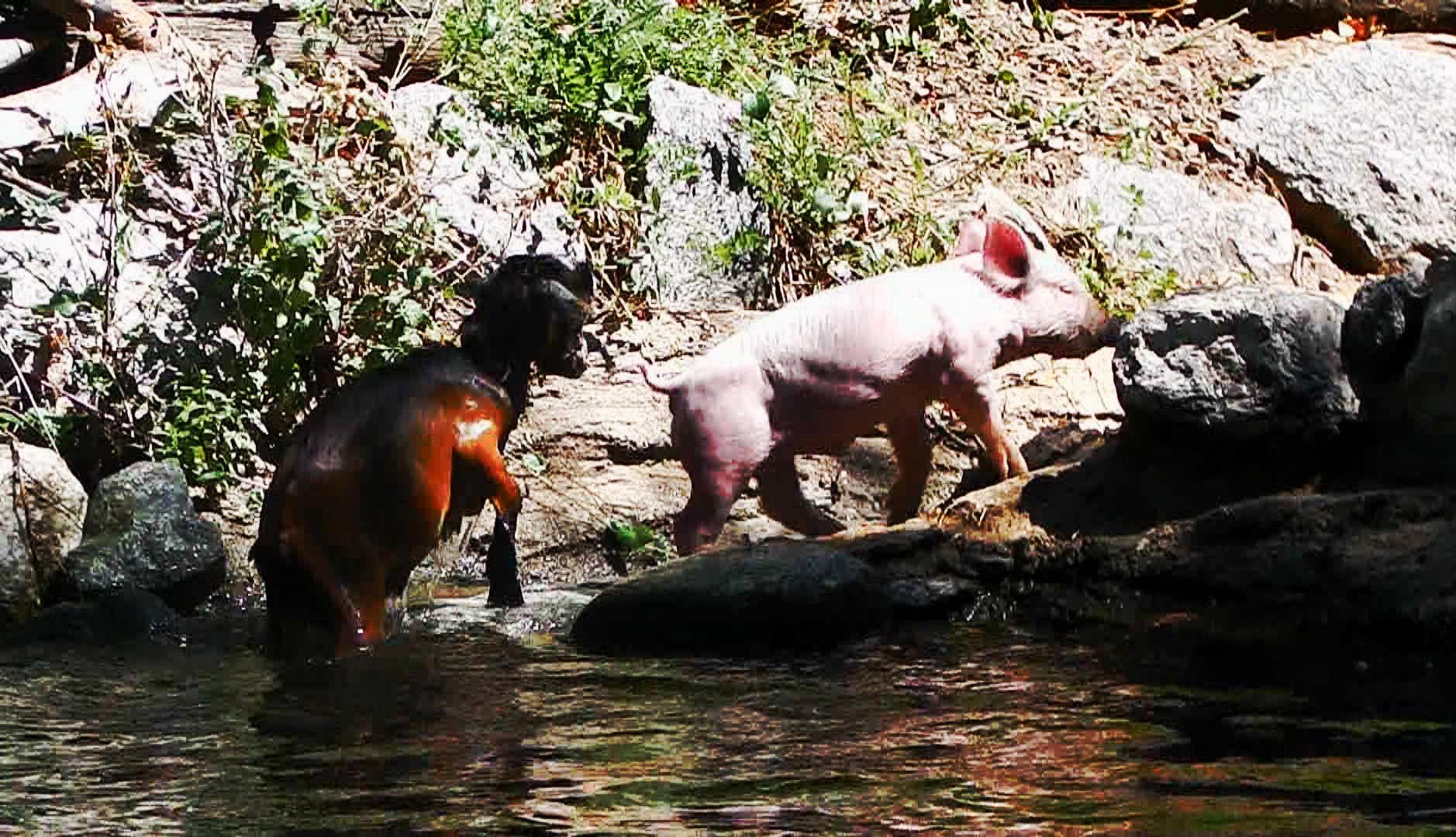 Cómo crear un video viral: Pig rescues baby goat